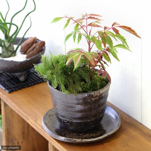 (盆栽)山野草盆栽 益子焼鉢植え 苔2種とハゼノキ 穴有益子焼植木鉢(炭化)(1鉢)(受け皿付き)