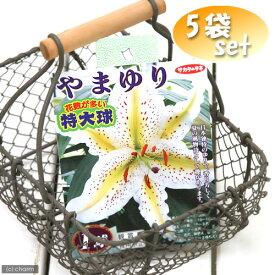 (観葉植物)ユリ球根 やまゆり 特大球 1球詰(5袋) 北海道冬季発送不可