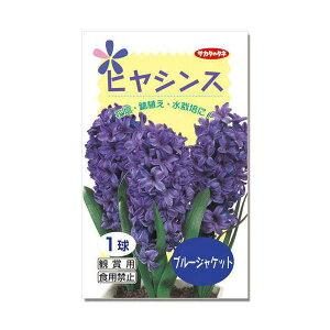 (観葉植物)ヒヤシンス球根(水栽培向き) 青紫色(ブルージャケット)(3球)
