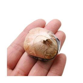 (観葉植物)スーパージャンボ クロッカス球根(水栽培向き) 紫色系(10球) 北海道冬季発送不可