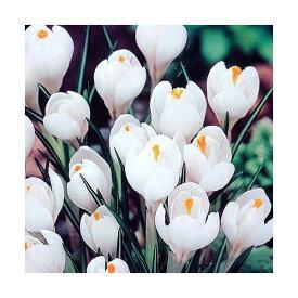 (観葉植物)スーパージャンボ クロッカス球根(水栽培向き) 白色系(10球)