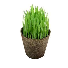 (観葉植物)ペットグラス 猫草 ネコちゃんの草 燕麦 直径8cmECOポット植え(無農薬)(3ポットセット)