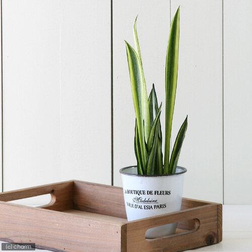 (観葉植物)ハイドロ苗9φ・Lサイズ サンスベリア センセーション(1ポット)