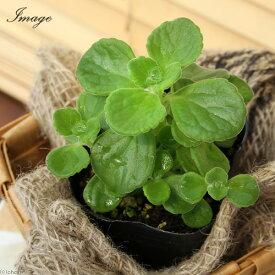 (観葉植物)ハーブ苗 アロマティカス 2.5〜3号(5ポット) 家庭菜園