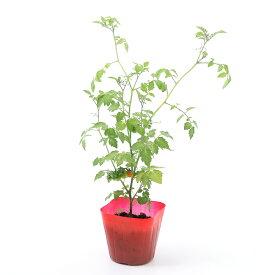 (観葉植物)野菜苗 トマト マイクロトマト 3号(1ポット) 家庭菜園