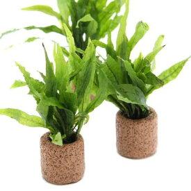 (水草)ライフマルチ(茶) ミクロソリウム プテロプス ナロー(1個)