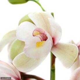 (観葉植物)洋ラン シンビジューム プチエンゼルサクラ 4号 開花終了株(1鉢)