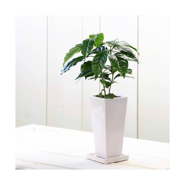 (観葉植物)コーヒーの木 陶器鉢植え タワーS WH(1鉢) 受け皿付き