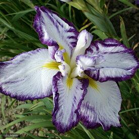 (ビオトープ)水辺植物 花菖蒲 舞姫(マイヒメ)江戸系白地紫覆輪六英花(1ポット)