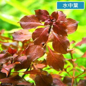 ■ルドウィジアsp.スーパーレッド(水上葉)(3本)