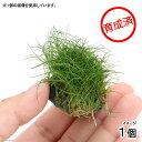 (水草)育成済 ヘアーグラスショートボール(無農薬)(1個)