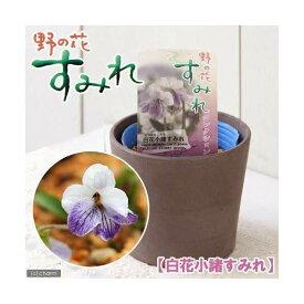 (山野草)白花コモロスミレ(白花小諸菫) 2.5〜3号(1ポット)