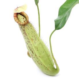 (食虫植物)ウツボカズラ ネペンテス ダイエリアナ 3号(1ポット)