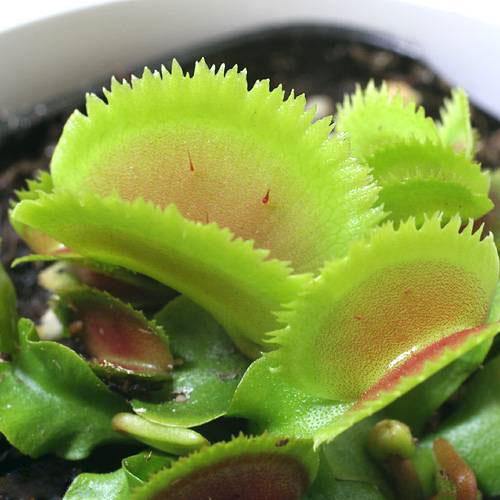 (食虫植物)ハエトリソウ ブリストルトゥース 3号(1ポット)