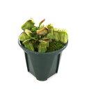 (食虫植物)セファロタス フォリキュラリス 3号(1ポット)【HLS_DU】