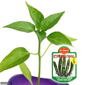 (観葉植物)デルモンテ 野菜苗 トウガラシ ピリ辛韓国とうがらし 3号(1ポット) 家庭菜園