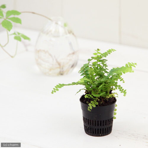 (観葉植物)ビバリウムプランツ タマシダ ダッフィー 4cmポット入り(1ポット)
