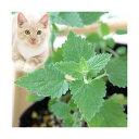 (観葉)ハーブ苗 猫草 キャットニップ コモン 3号(お買い得3ポットセット) 家庭菜園