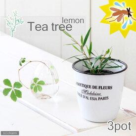(観葉植物)ハーブ苗 ティーツリー レモン 3号(3ポット) 家庭菜園 北海道冬季発送不可
