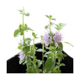 (観葉植物)ハーブ苗 ミント ペニーロイヤルミント 3号(3ポット) 虫除け植物 家庭菜園 北海道冬季発送不可