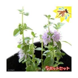 (観葉植物)ハーブ苗 ミント ペニーロイヤルミント 3号(5ポット) 虫除け植物 家庭菜園 北海道冬季発送不可