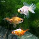 (国産金魚)蝶尾 ミックス(3匹)