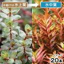 (水草)ロタラ ロトンディフォリア コロラタ(水上葉)(無農薬)(20本) 北海道航空便要保温