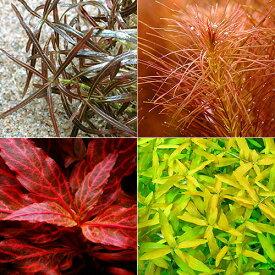 (水草)おまかせ4色紅葉セット(無農薬)(10本)(水上葉)