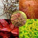 (水草)おまかせ5色紅葉セット(無農薬)(20本) 熱帯魚
