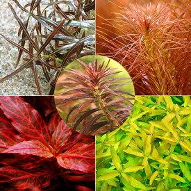(水草)おまかせ5色紅葉セット(無農薬)(20本)