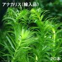 (水草)メダカ・金魚藻 アナカリス(輸入品)(20本)