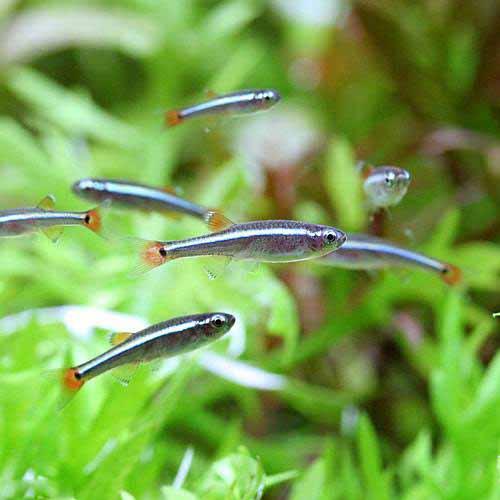 (熱帯魚)生餌 アカヒレ Sサイズ(100匹) 北海道航空便要保温