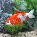 (国産金魚)更紗和金(サラサワキン)13cm〜17cm(1匹)