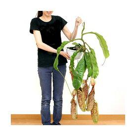 (食虫植物)ウツボカズラ ネペンテス ダイエリアーナ 7号(1鉢)(吊り鉢タイプ) 沖縄別途送料