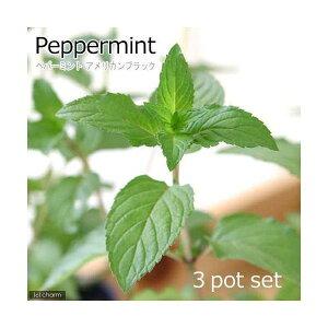 (観葉植物)ハーブ苗 ミント ペパーミント アメリカンブラック 3号(3ポット) 家庭菜園