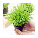 (観葉植物)スーダングラス 猫草 ネコちゃんの草 直径8cmECOポット植え(無農薬)(1ポット)