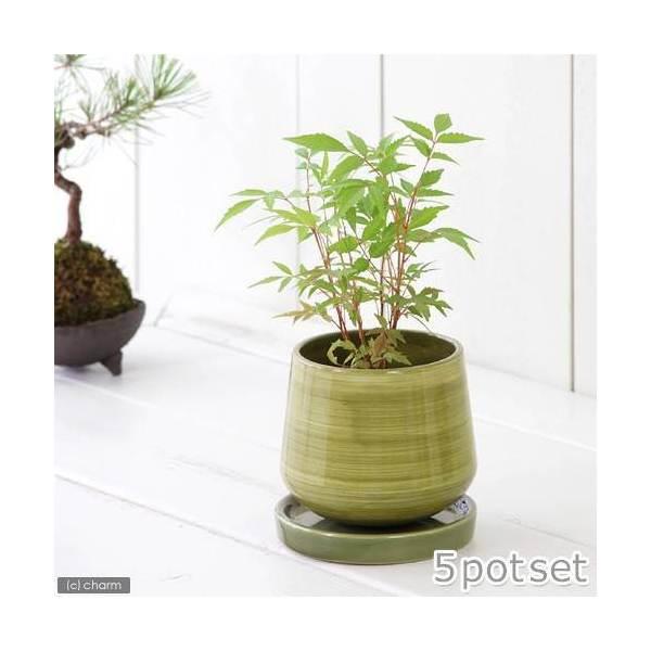 (盆栽)ハゼノキ(櫨の木) 3号(お買い得5ポットセット)