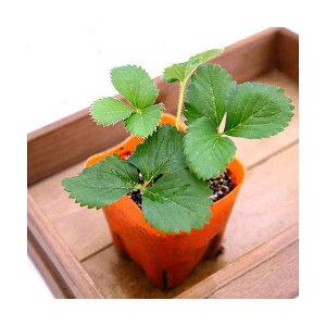 (観葉植物)デルモンテ 野菜苗 イチゴ めちゃデカッ!いちご(四季成り) 3号(10ポット) 家庭菜園