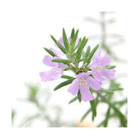 (観葉植物)ハーブ苗 ウェストリンギア ピンク 3号(1ポット) 家庭菜園