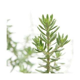 (観葉植物)ハーブ苗 ウェストリンギア ホワイト 3号(1ポット) 家庭菜園