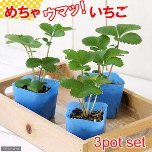 (観葉植物)デルモンテ 野菜苗 イチゴ めちゃウマッ!いちご(四季成り) 3号(3ポット) 家庭菜園