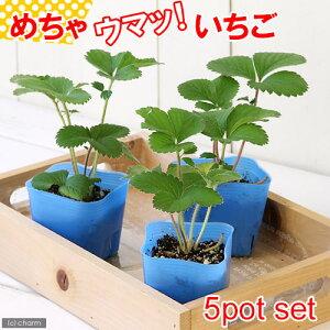 (観葉植物)デルモンテ 野菜苗 イチゴ めちゃウマッ!いちご(四季成り) 3号(5ポット) 家庭菜園