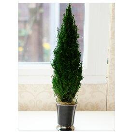 コニファー(ゴールドクレスト)プリザーブドフラワー コニファープリザ クリスマスツリー 室内観葉植物 ちば花プリザ インテリア植物 ガーデン フラワー