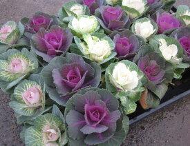 【送料無料】 ハボタン(葉牡丹) 切花用 24個