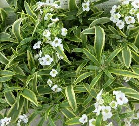斑入りアリッサム苗 フロスティーナイト 3.5号苗(h1)