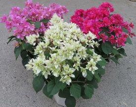 「花咲終わり」【選べる3色】 ブーゲンビリア(ブーゲンビレア) 八重咲き 5号(J1)