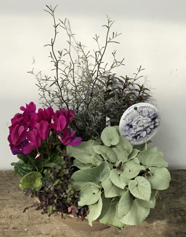 【送料無料】シクラメン・プラチナアフロディーテの季節の寄せ植え♪平鉢24型植え