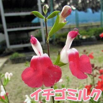 Cherry Sage strawberry milk