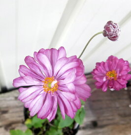 【花終わり】秋明菊(シュウメイギク) ピンク八重「プリンツ ハインリッヒ」 5号苗(b12)