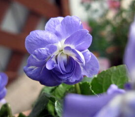 ニオイスミレ 紫八重 3.5号苗(h3)